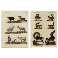 Group of two, 18th Century,Authentic,natural history,hand colored,Engraving,Farm animals,Goats,sheep,Squirrels