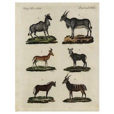 18th Century,Authentic,natural history,hand colored,Engraving,Antelope,goats,deer