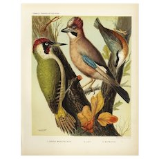 Authentic,antique,bird,lithograph prints,Various,Cage birds,woodpeckers