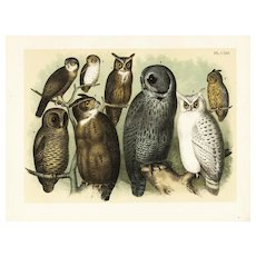 19th Century Antique original  color lithograph print of Owls rare