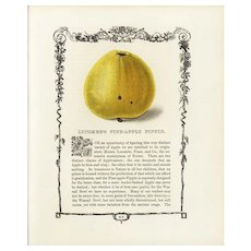 19th century Hand colored lithograph print of Pineapple pippins, decorative art, original art,