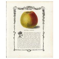 19th century Hand colored lithograph print of Elford pippin apple, decorative art, original art,