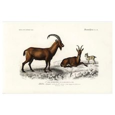 19th century .Antique,Natural History,Animal Print,The mountain goats,original hand colored