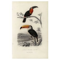 19th century .Antique,Natural History,Animal Print,Toucan,original hand colored