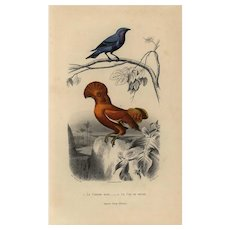 19th century .Antique,Natural History,bird Print,original hand colored