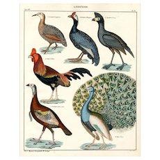 19th Century,Original,Antique,handcolored,Engraving of birds,peacock,Roaster,turkey