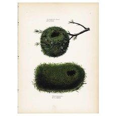 19th century Antique,Hand Colored,Original Bird Print,from Schinz First Edition 1840,bird nests