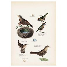 19th century Antique,Hand Colored,Original Bird Print,from Schinz First Edition 1840,birds and nests