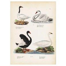 19th century Antique,Hand Colored,Original Bird Print,from Schinz First Edition 1840,swans