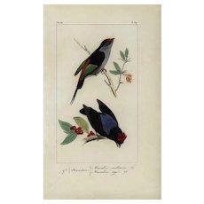 19th Century,Original,antique,hand colored, Exotic bird,engraving, from Histoire Naturelle des Oiseaux Exotiques.