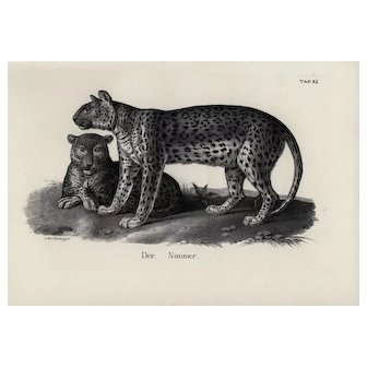 19th century,Authentic,1842,Natural History,Print of Wild cats,black and white,zoology print