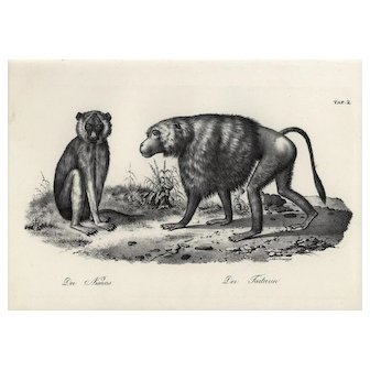 19th century,Authentic,1842,Natural History,Print of apes baboons,black and white,zoology print