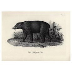 19th century,Authentic,1842,Natural History,Print of Black Bear,Large print-black and white,zoology print