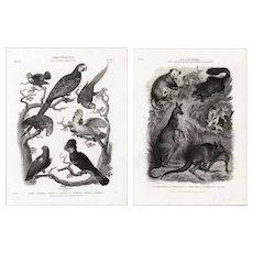 set of two Original,19th century,natural history engravings of various animals,birds,parrots,cockatoo,kangaroos