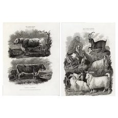 Set of two,Original,19th century,natural history engraving of various animal,Farm animals,cows,goats,