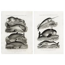 Set of two,Original,19th century,natural history engraving of Sea-life,fish,Dolphins