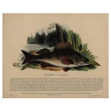 19th Century,Original,Antique,handcolored,Engraving, ,natural history,The Perch,fish
