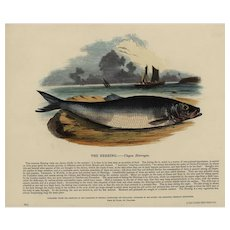 19th Century,Original,Antique,handcolored,Engraving, ,natural history,The Herring,fish
