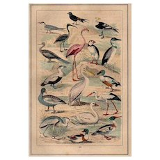 19th Century,original,antique,natural history prints of bird,hand colored,Extremely rare,flamingos,pelicans,ducks