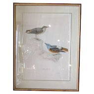 Lovely Framed 'Birds Of Europe' Coloured Lithographs Of Rock Thrush By John Gould