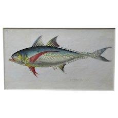 English Colour Fish Print Antique c.1780.