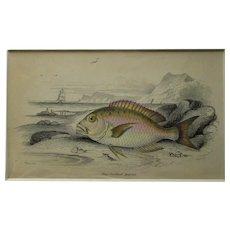 English Colour Fish Print Antique c.1845.