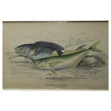 English Colour Fish Print Vintage c.1845.