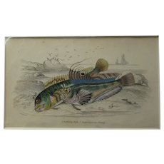 English Colour Fish Print Vintage c.1845.