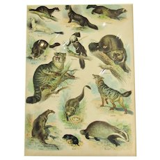 Natural History Wild Animals Print Antique Victorian c.1890.