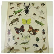 Natural History Insect Print Antique Victorian c.1890.