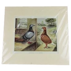 Homing Pigeon Sport Print Antique Edwardian c1907.