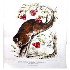 "Johann Ludwing (Louis) Gerard Krefft (Australian 1830 - 1881) ""The Ring-tailed Opossum"" - Antique Folio Lithograph - c 1871"