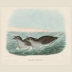 """DANIEL GIRARD ELLIOT (American, 1830-1907) - Antique Hand-Colored Lithograph """"Phaleris Tetracula"""" from The New and Heretofore Unfigured Species of the Birds of North America Circa 1869"""