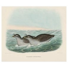 "DANIEL GIRARD ELLIOT (American, 1830-1907) - Antique Hand-Colored Lithograph ""Phaleris Tetracula"" from The New and Heretofore Unfigured Species of the Birds of North America Circa 1869"