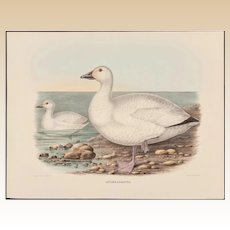 "DANIEL GIRARD ELLIOT (American, 1830-1907) - Antique Hand-Colored Lithograph ""Anser Albatus"" from The New and Heretofore Unfigured Species of the Birds of North America Circa 1869"