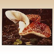 PAIR of Photographs by Russel Morgan of Two Varieties of Mushrooms