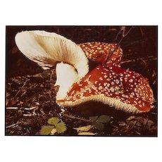 PAIR of Photographs by Russel Morgan of Two Varieties of Mushrooms