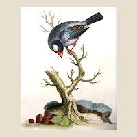"Edwards - ""Paddda or Rice-Bird"" - Originally Hand-Colored Engraving "" A Natural History of Uncommon Birds."" First Edition Circa 1743,"