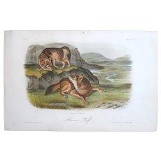 John James Audubon (American, 1785-1851) Prairie Wolf (No, 15, Plate LXXI) from The Viviparous Quadrupeds of North America, 1849