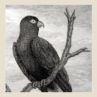 Pierre Sonnerat (French,  1748 –  1814)  - Antique Bird Print Engraving, c 1776