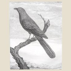 """18th Century Engraving - """"Green Bird Of Paradise"""" - Pierre Sonnerat - Engraving with Recent Professional Hand-Coloring"""