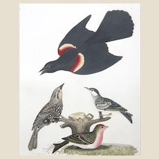 """Antique Original Hand-Colored Engraving From """"American Ornithology"""" By Alexander Wilson,  c. 1829"""