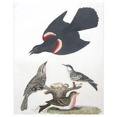 "Antique Original Hand-Colored Engraving From ""American Ornithology"" By Alexander Wilson,  c. 1829"