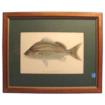 1899 Fish Chromolithograph C.B. Hudson Margate - Fish Framed
