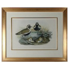 """Audubon School Hand Colored Lithograph """"Charadrius Pluvialis, Linn"""" after Gould"""