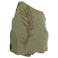 Dawn Redwood Leaf Fossil; Oligocene; Montana