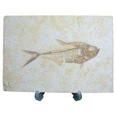 Fossil Fish; Diplomystus dentatus; Eocene; Wyoming