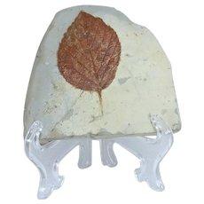 Fossil Leaf; Beringiaphyllum cupanoides; Paleocene (60 MYA); Montana