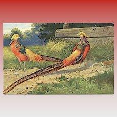 """""""Golden Pheasants""""  (1920')"""