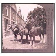 Belgian Draft Horses - Keystone Stereo View